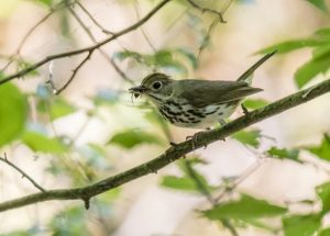Lucas Hollow Warblers @ Yellowwood State Forest