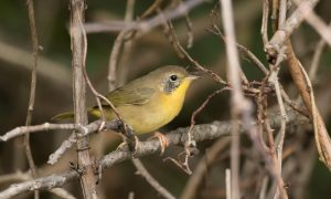 Fall Warblers at North Fork @ North Fork WRA